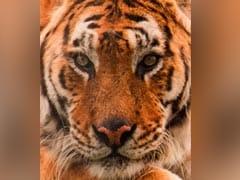 UK's Oldest Tiger Tango Dies Aged 22