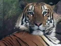 Indore Techie Adopts Baby. Marries. Then A 2-Year-Old Tiger Joins The Family