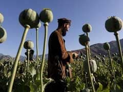 Opium Crops Spread In Afghanistan As Taliban Gains Ground: United Nations