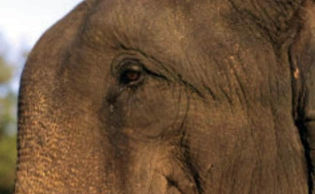 Wild Elephants Unleash Panic In Mayurbhanj District