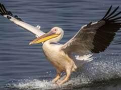 Fresh Pelican Deaths In Delhi Zoo