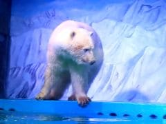 Video Of World's 'Saddest Polar Bear' In China Sparks Outrage