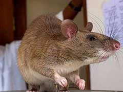African Rats To Turn Sensitive Noses Against Poaching