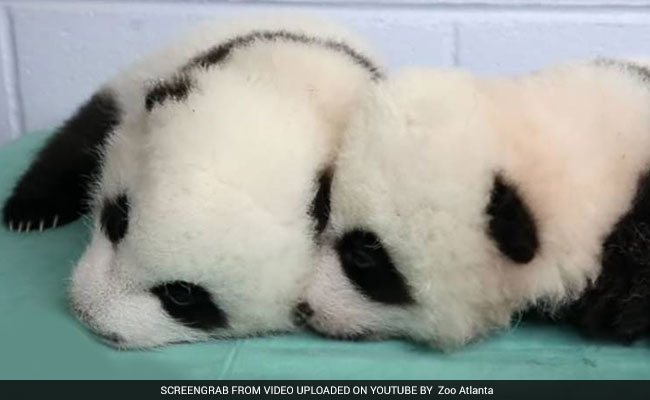 Born Pandas Experience Culture Shock in China