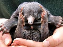 Puggles Snuggle Down In Sydney After Rare Echidna Zoo Births