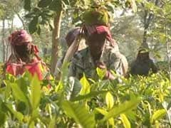 Tea Gardens Face Cash Crunch, Default On Paying Wages