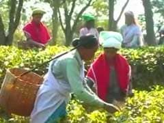 In Assam's Tea Gardens, Currency Ban Stirs Up A Cup Of Trouble