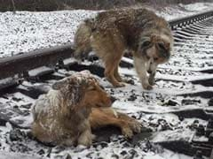 Hero Dog Stays With Injured Friend On Frozen Train Track For Two Days