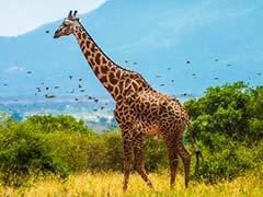 Giraffes, Rarer Than Elephants, Put On Extinction Watch List