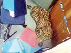 Leopard Trapped In Pune College Kitchen; Rescued After 4 Hours