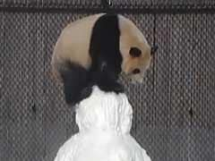 Giant Panda Has The Cutest Reaction To A Snowman. Smiles Guaranteed