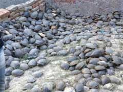 Over 6,000 Turtles, Stuffed In Sacks, Rescued In Uttar Pradesh's Amethi