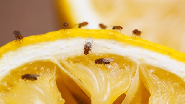 eating star fruit fruit flies in house