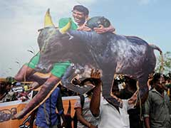 Protesters Refuse To Accept Ordinance On Jallikattu, Demand Permanent Solution