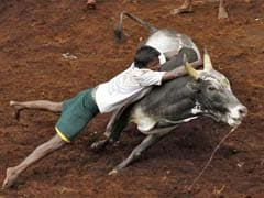 What Is Jallikattu? All You Need To Know About Bull-Taming Tradition