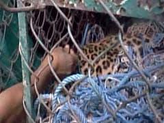Leopard Enters Bengal Town, Captured