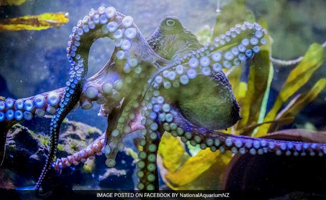 The Octopus Who Recognizes Humans And Has Other Amazing Skills