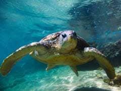In Record Haul, 6,400 Turtles Rescued In Uttar Pradesh; Kingpin Arrested