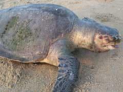 30 Olive Ridley Turtles Found Dead On Chennai Beaches