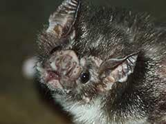 Vampire Bats Found Sucking Human Blood For The First Time, Say Scientists