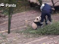 Play With Me, Human! Clingy Panda Won't Let Go Of Nanny's Leg At Any Cost