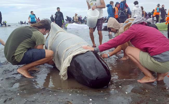 dead whales new zealand afp