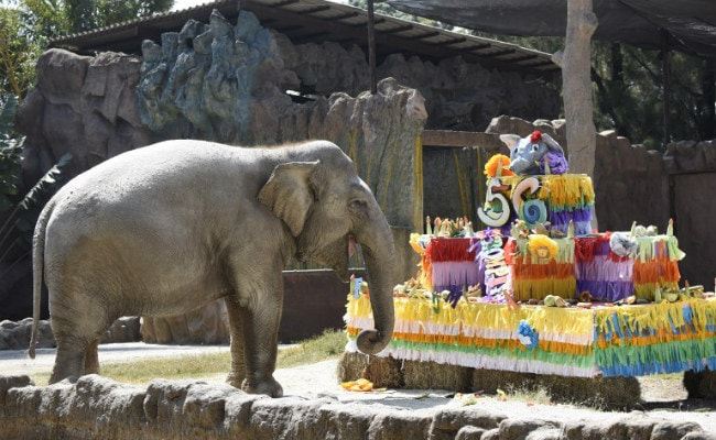 The elephant Trompita/Bombi enjoys birthday cake made of vegetables and fruit in Guatemala.