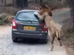 When A Lion Got Up Close And Personal With Car Full Of Tourists