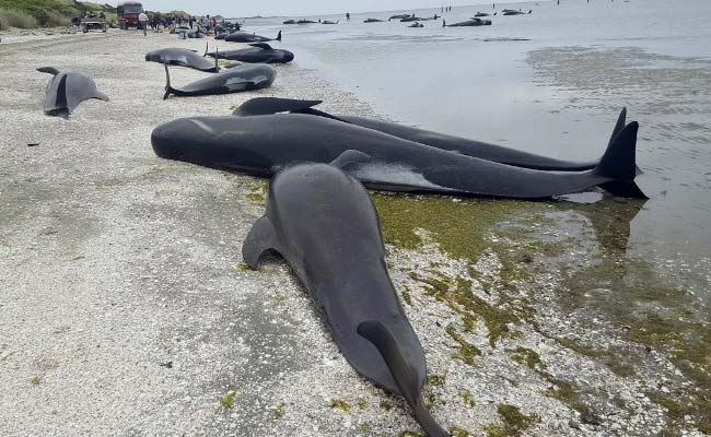 new zealand dead whales afp