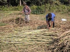 UP Election 2017: In Sugar Belt, Farmers Sour About Cane Dues