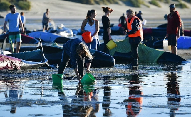 Pilot Whales Refloated After Hundreds Stranded on New Zealand Beach