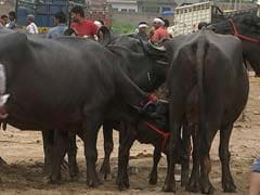 In Its Defense Of Cattle Trade Ban, Centre Offers Openings For Critics