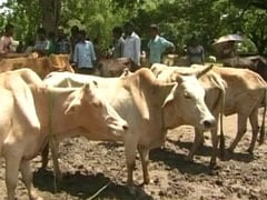 On Cattle Trade Laws, Supreme Court Asks Centre To Respond In 2 Weeks