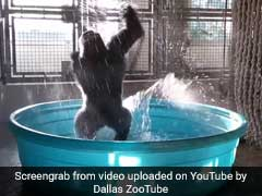 Experts Agree: The Gorilla In The Kiddie Pool Is Having A Total Blast