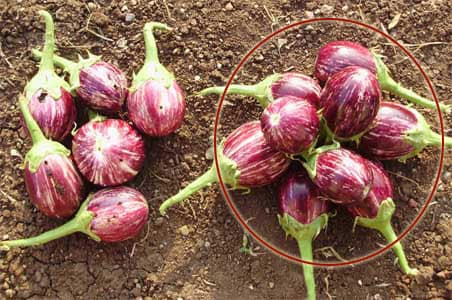 bt brinjal Bt brinjal was approved for commercial cultivation in bangaladesh in 2013 cooking and preparing edit wikimedia commons has media related to eggplant-based food.