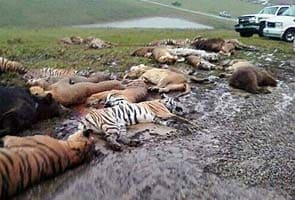 18 tigers, 17 lions killed after owner commits suicide