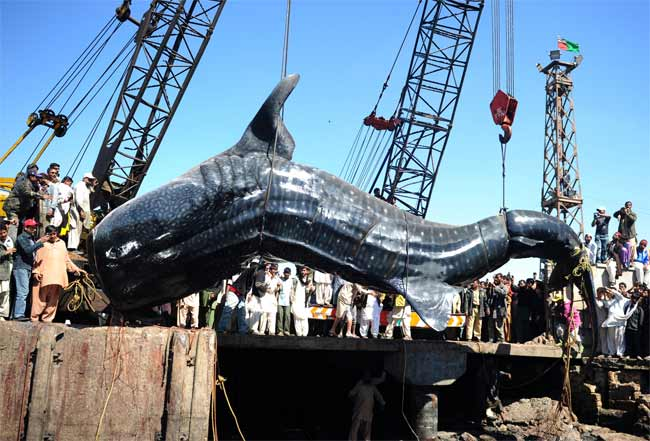 Pakistan fishermen catch giant 7000 kg whale shark