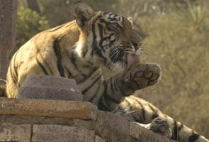 Four more tiger sanctuaries in Maharashtra