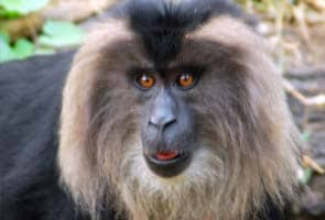 Globally primates go downhill, India has reason to cheer