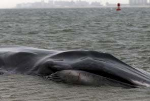 Massive beached whale dies in New York City