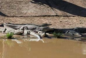 Help! Too many crocodiles, South Africa police say