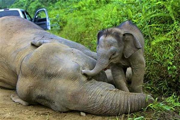Three month-old elephant calf tries to wake its dead mother