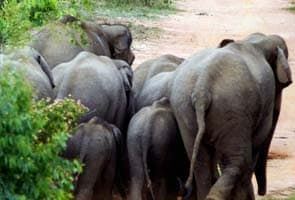 Herd of wild elephants trample man to death in Karnataka