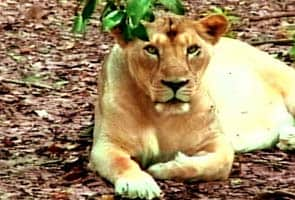 Environmentalists slam Gujarat's fight over Gir lions