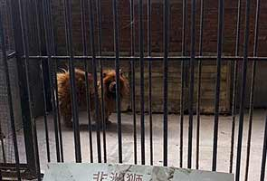China zoo that disguised dog as lion closes: report