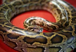 40 pythons found in Canadian hotel