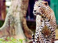 Bahraich: Leopard kills eight-year-old girl