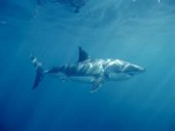 Researchers Find Great White Shark Population Growing in Pacific