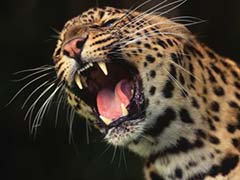 Leopard Sighted in Thimbam