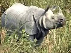 Poachers Kill Adult Female Rhino In Kaziranga